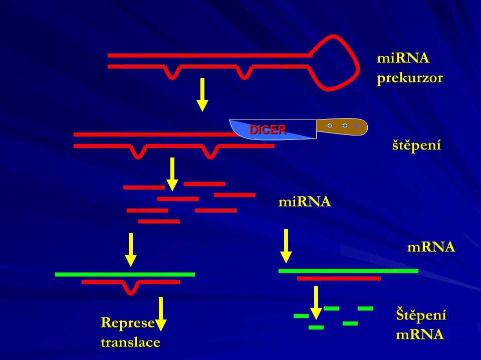 miRNA prekurzor štěpení miRNA mRNA Štěpení Represe mRNA translace