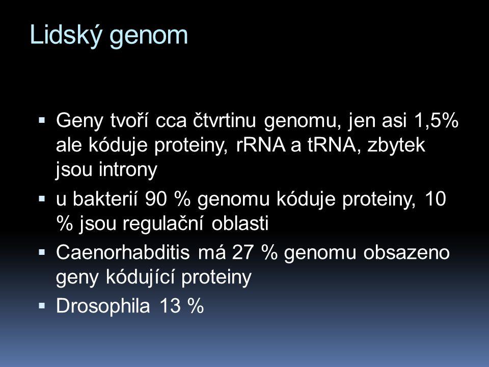 Lidský genom Geny tvoří cca čtvrtinu genomu, jen asi 1,5% ale kóduje proteiny, rRNA a tRNA, zbytek jsou introny.