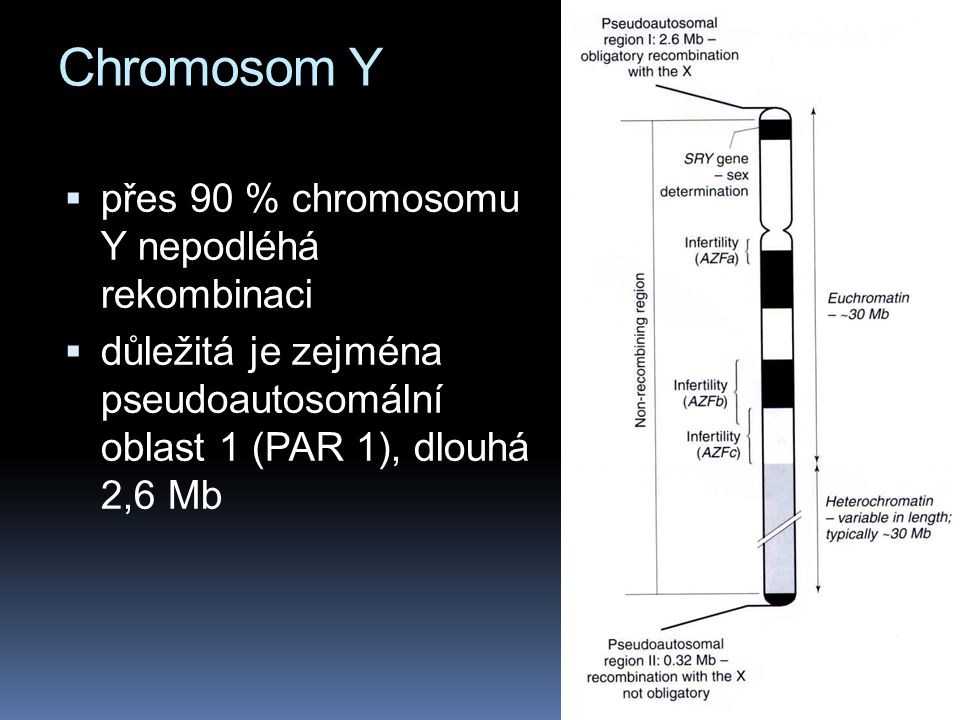 Chromosom Y přes 90 % chromosomu Y nepodléhá rekombinaci
