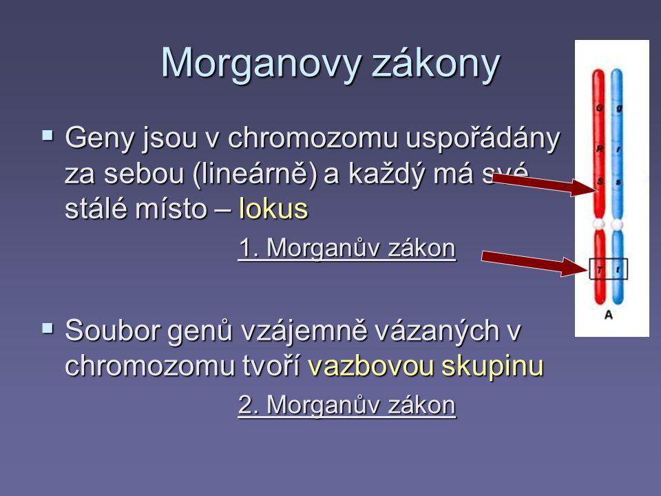 Morganovy zákony Geny jsou v chromozomu uspořádány za sebou (lineárně) a každý má své stálé místo – lokus.