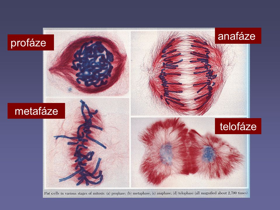anafáze profáze metafáze telofáze