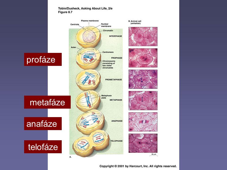 profáze metafáze anafáze telofáze