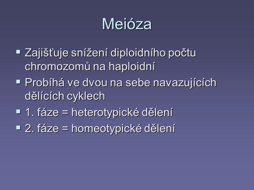Meióza Zajišťuje snížení diploidního počtu chromozomů na haploidní
