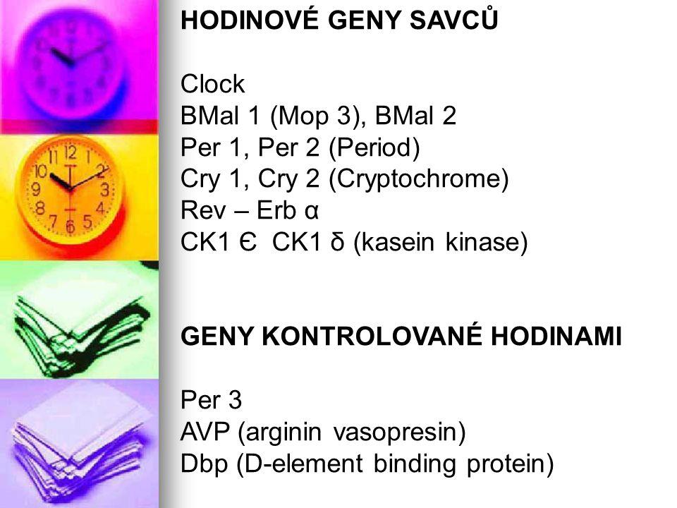 HODINOVÉ GENY SAVCŮ Clock. BMal 1 (Mop 3), BMal 2. Per 1, Per 2 (Period) Cry 1, Cry 2 (Cryptochrome)
