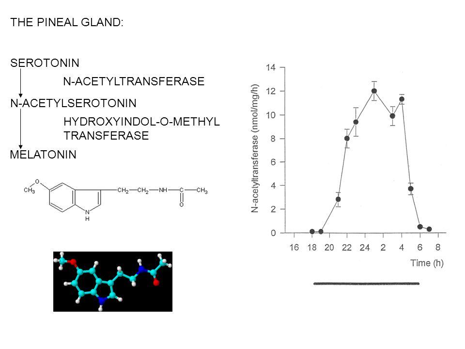 THE PINEAL GLAND: SEROTONIN. N-ACETYLTRANSFERASE. N-ACETYLSEROTONIN. HYDROXYINDOL-O-METHYL. TRANSFERASE.