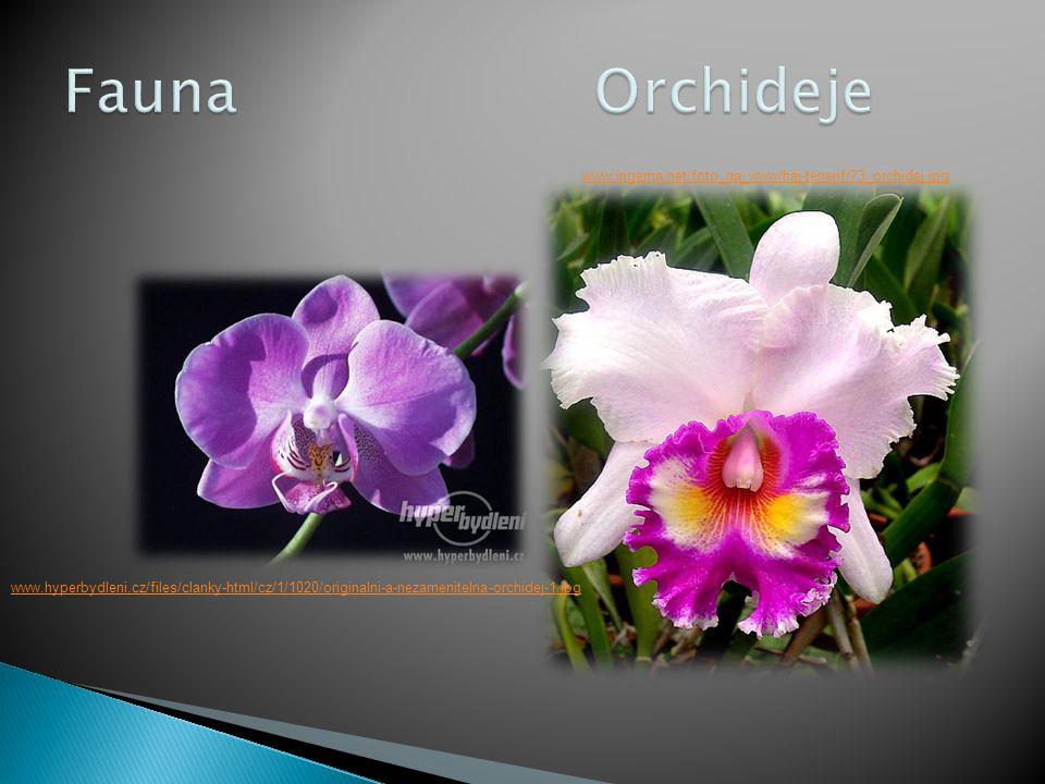 Fauna Orchideje www.ingema.net/foto_na_www/haj-tenerif/73_orchidej.jpg