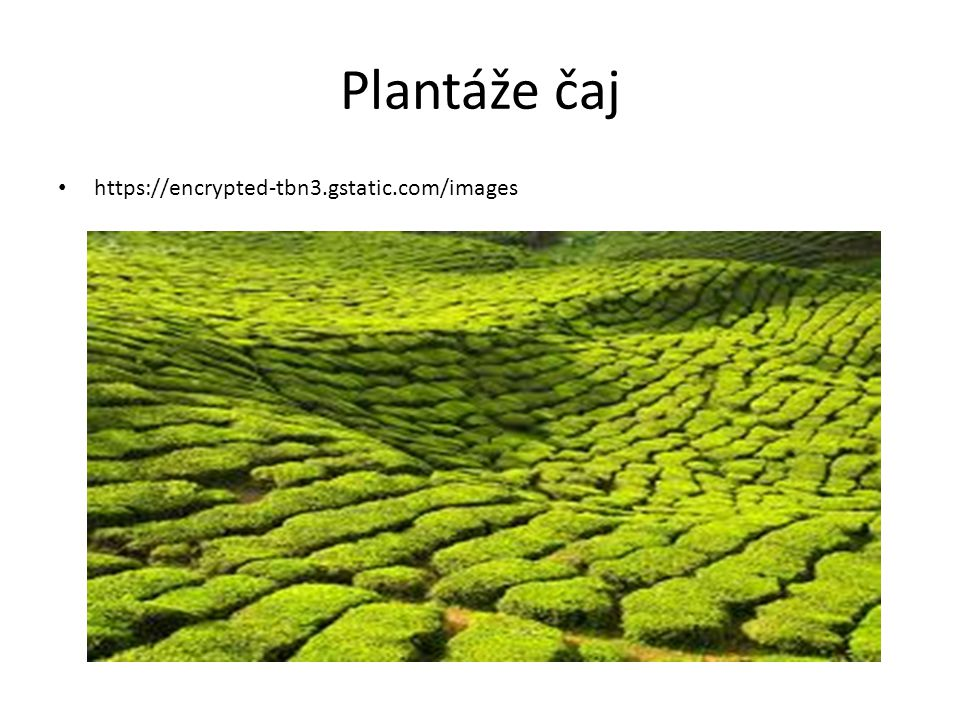 Plantáže čaj https://encrypted-tbn3.gstatic.com/images