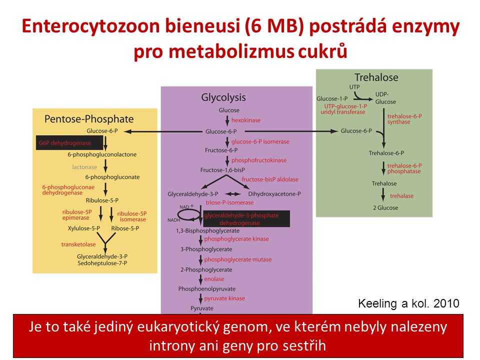 Enterocytozoon bieneusi (6 MB) postrádá enzymy pro metabolizmus cukrů