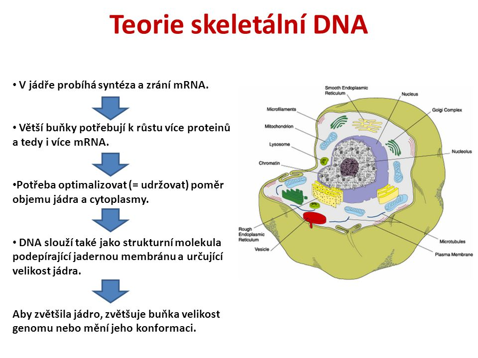 Teorie skeletální DNA V jádře probíhá syntéza a zrání mRNA.