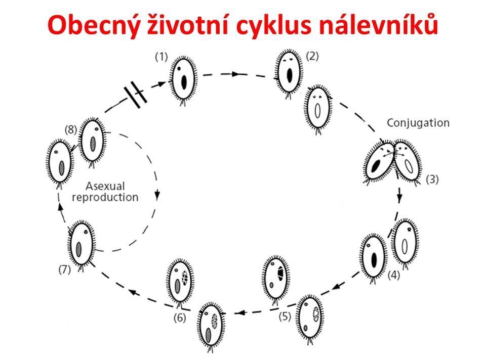 Obecný životní cyklus nálevníků