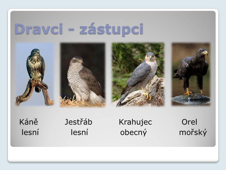 Dravci - zástupci Káně Jestřáb Krahujec Orel.