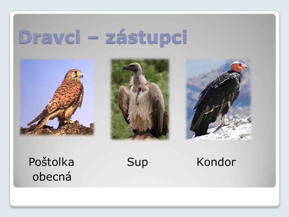 Dravci – zástupci Poštolka Sup Kondor obecná