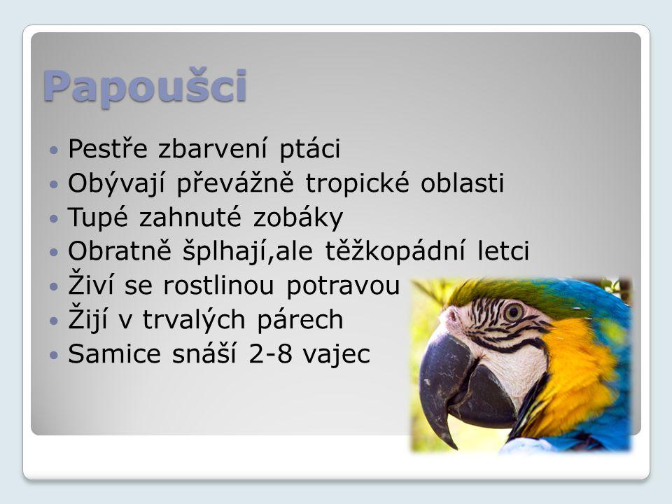 Papoušci Pestře zbarvení ptáci Obývají převážně tropické oblasti