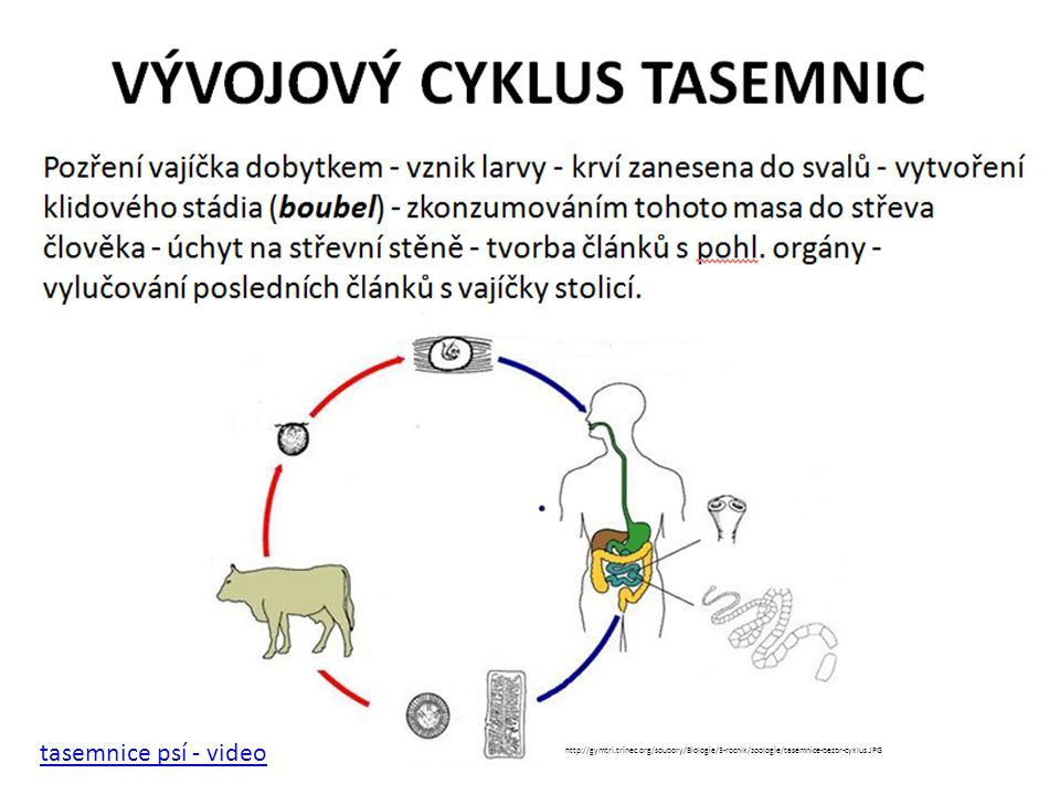 tasemnice psí - video http://gymtri.trinec.org/soubory/Biologie/3-rocnik/zoologie/tasemnice-bezbr-cyklus.JPG.