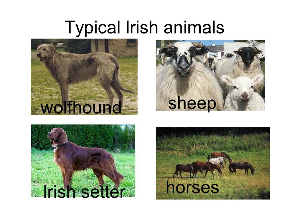 Typical Irish animals sheep wolfhound horses Irish setter platypus