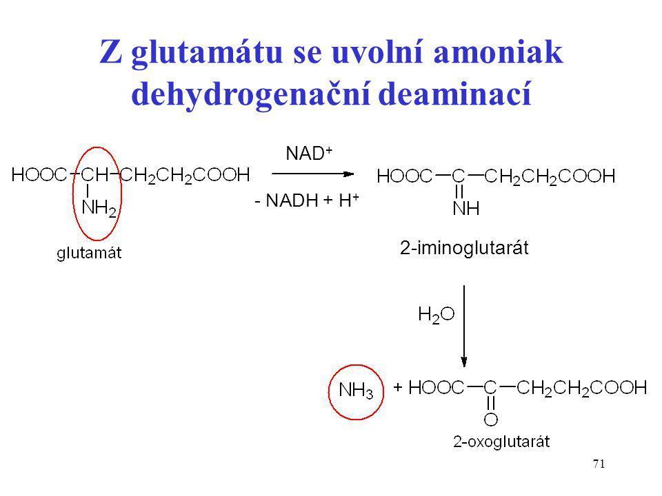 Z glutamátu se uvolní amoniak dehydrogenační deaminací