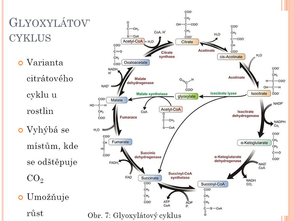 Glyoxylátový cyklus Varianta citrátového cyklu u rostlin