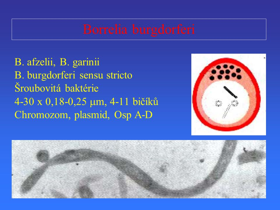 Borrelia burgdorferi B. afzelii, B. garinii