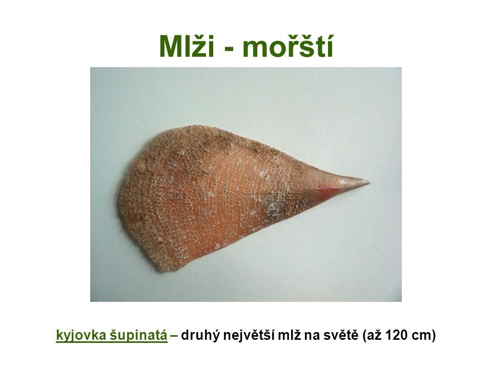 kyjovka šupinatá – druhý největší mlž na světě (až 120 cm)