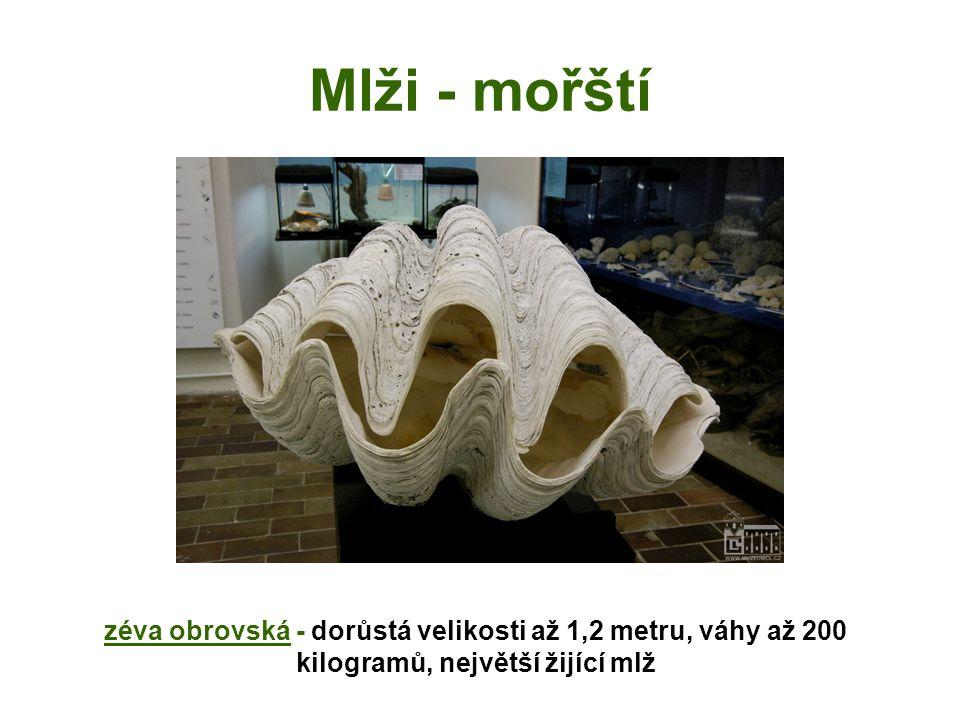 Mlži - mořští zéva obrovská - dorůstá velikosti až 1,2 metru, váhy až 200 kilogramů, největší žijící mlž.