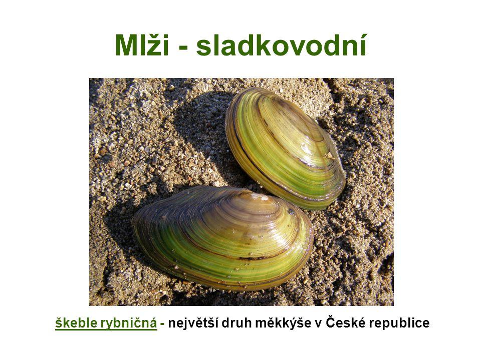 škeble rybničná - největší druh měkkýše v České republice
