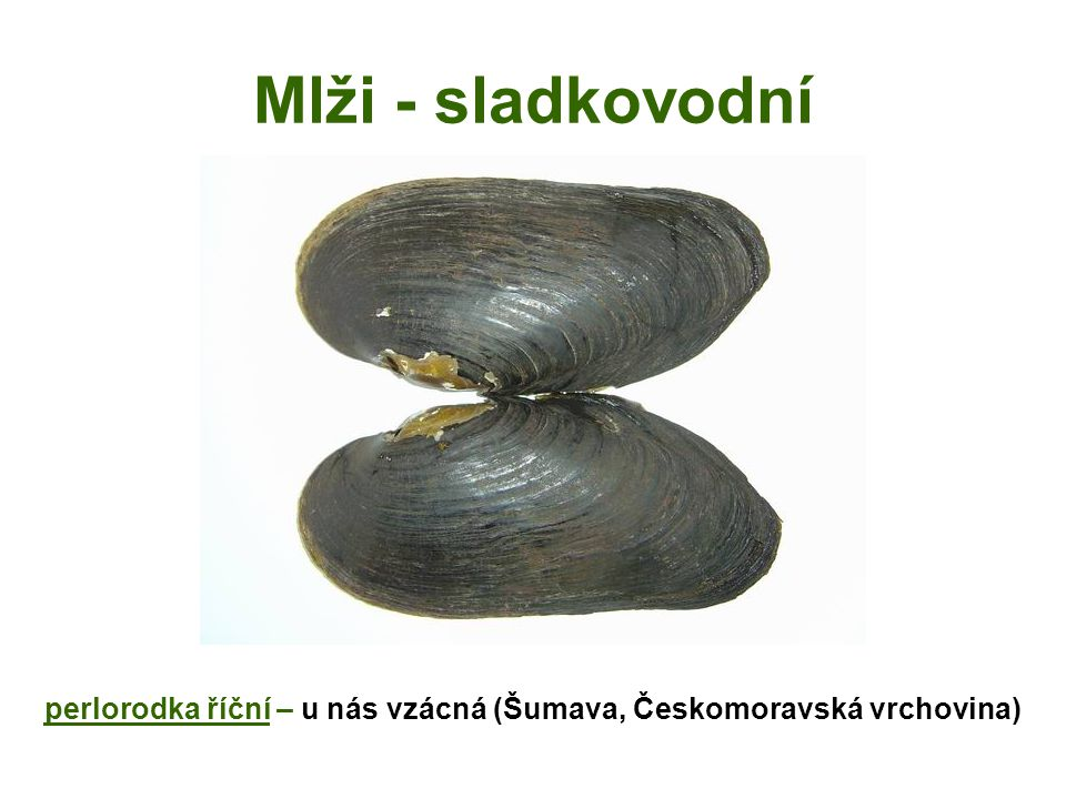 perlorodka říční – u nás vzácná (Šumava, Českomoravská vrchovina)
