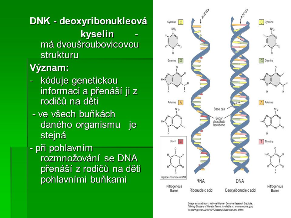 DNK - deoxyribonukleová