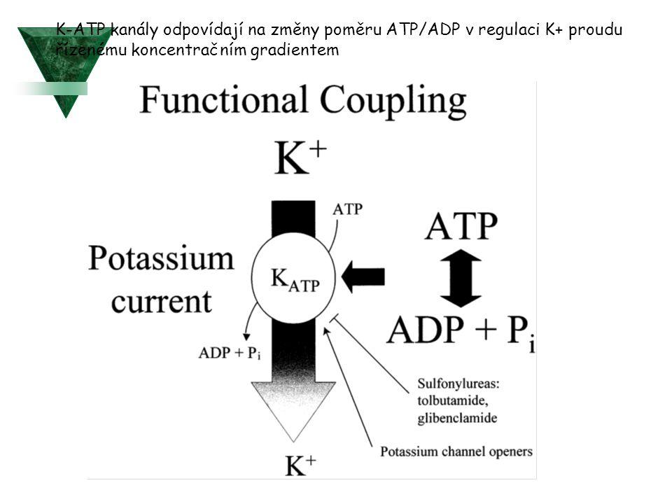 K-ATP kanály odpovídají na změny poměru ATP/ADP v regulaci K+ proudu