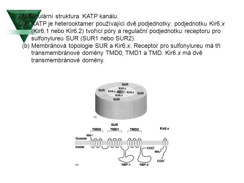Moleculární struktura KATP kanálu.