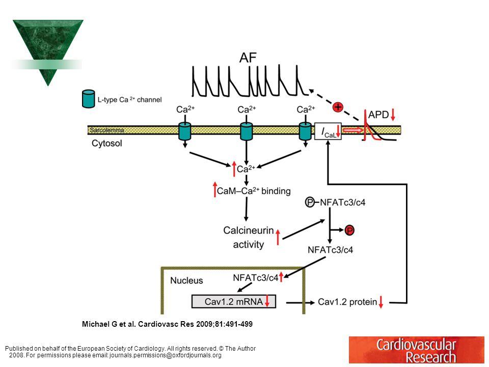 Redukce funkce Ca++ proudu typu L u síňové fibrilace (AF).