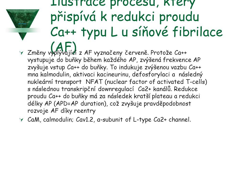 Ilustrace procesu, který přispívá k redukci proudu Ca++ typu L u síňové fibrilace (AF)