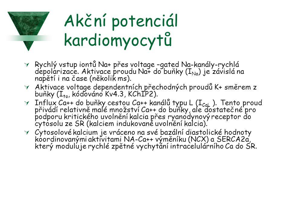 Akční potenciál kardiomyocytů