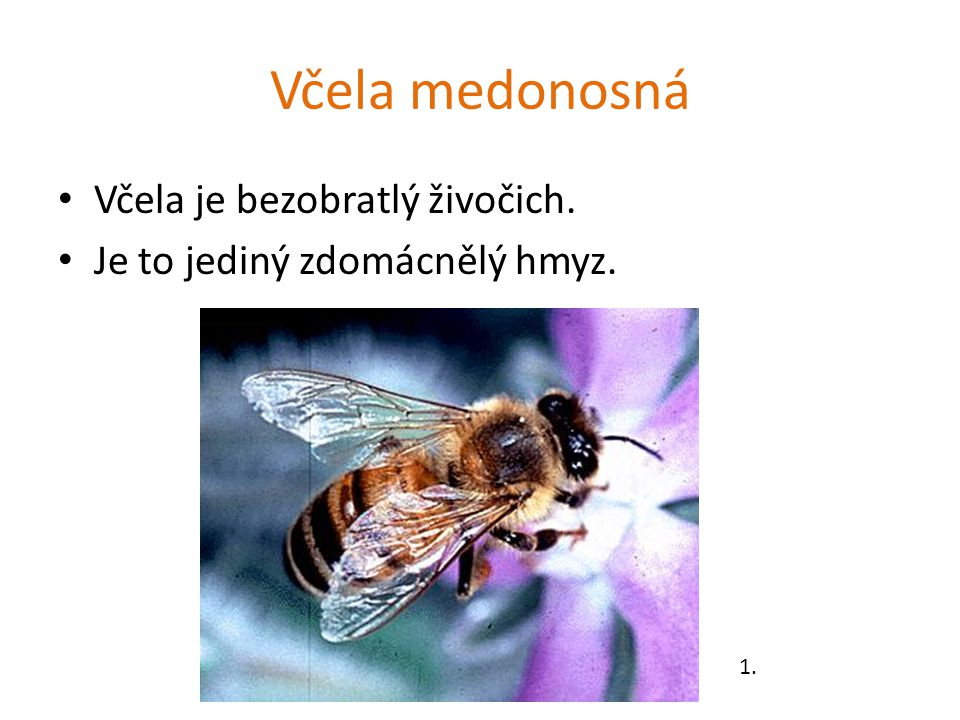 Včela medonosná Včela je bezobratlý živočich.