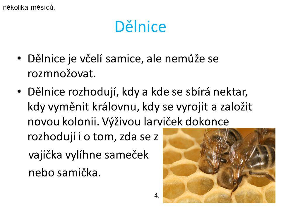 Dělnice Dělnice je včelí samice, ale nemůže se rozmnožovat.