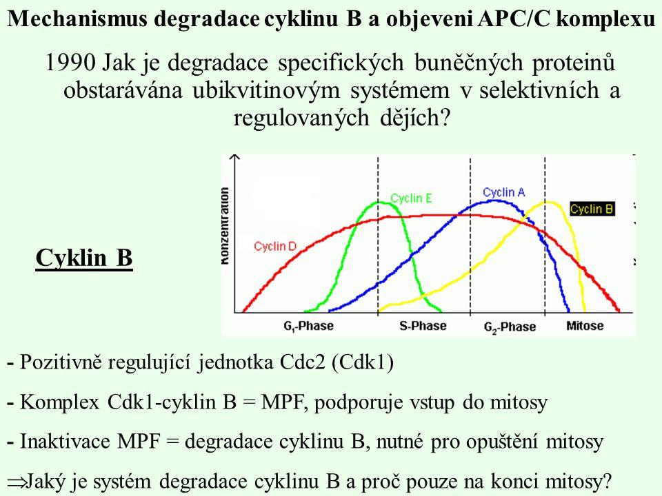 Mechanismus degradace cyklinu B a objeveni APC/C komplexu