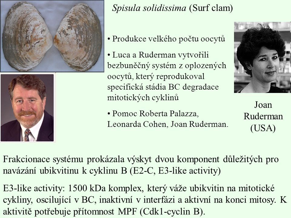 Spisula solidissima (Surf clam)