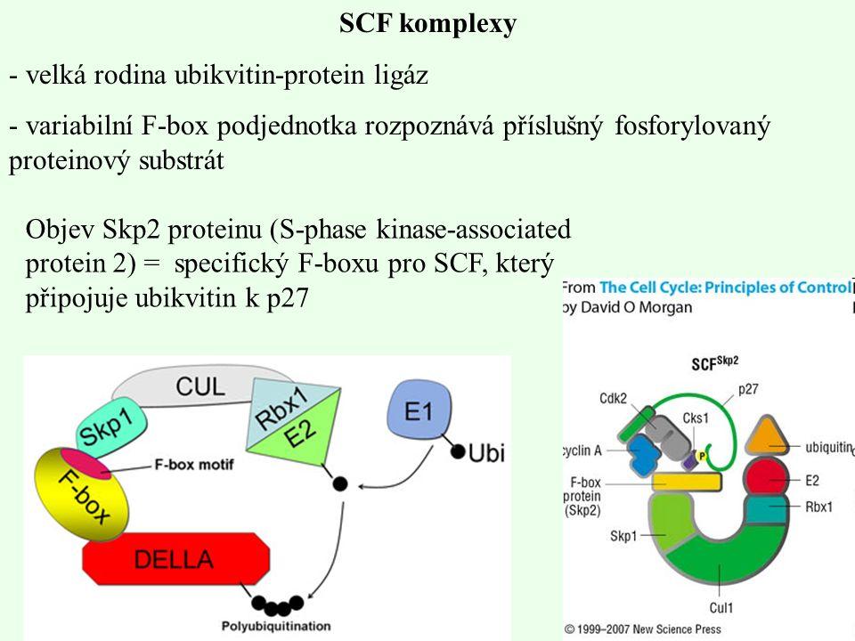 SCF komplexy velká rodina ubikvitin-protein ligáz. variabilní F-box podjednotka rozpoznává příslušný fosforylovaný proteinový substrát.