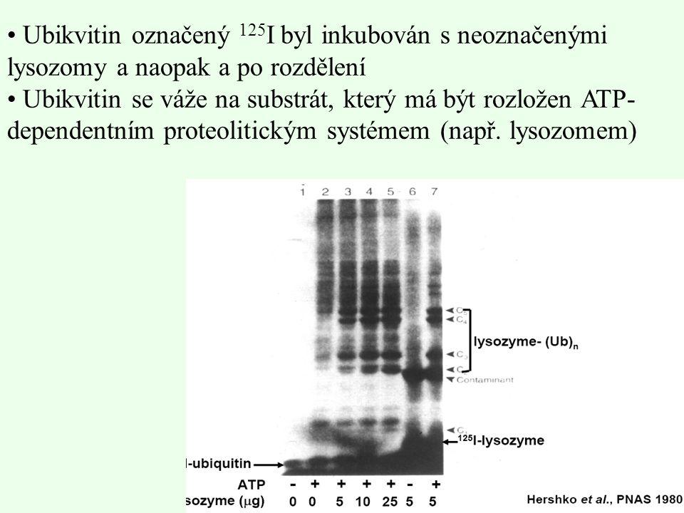 Ubikvitin označený 125I byl inkubován s neoznačenými lysozomy a naopak a po rozdělení