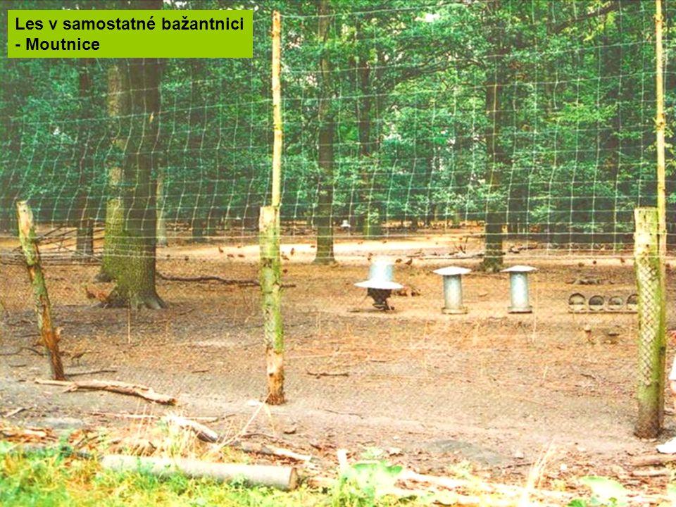 Les v samostatné bažantnici - Moutnice