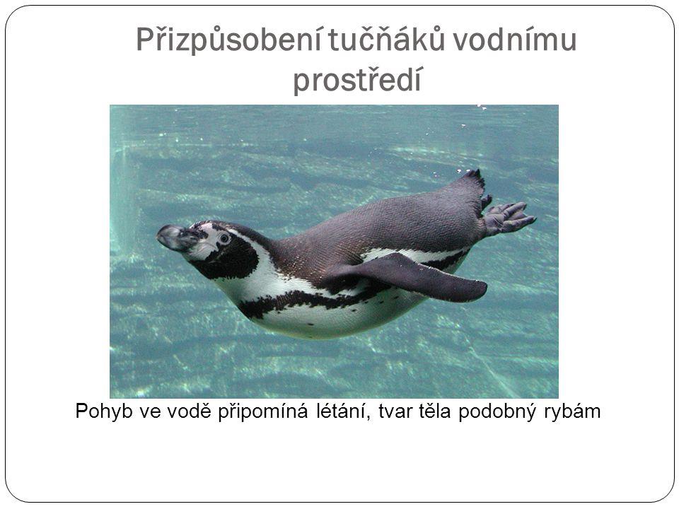 Přizpůsobení tučňáků vodnímu prostředí