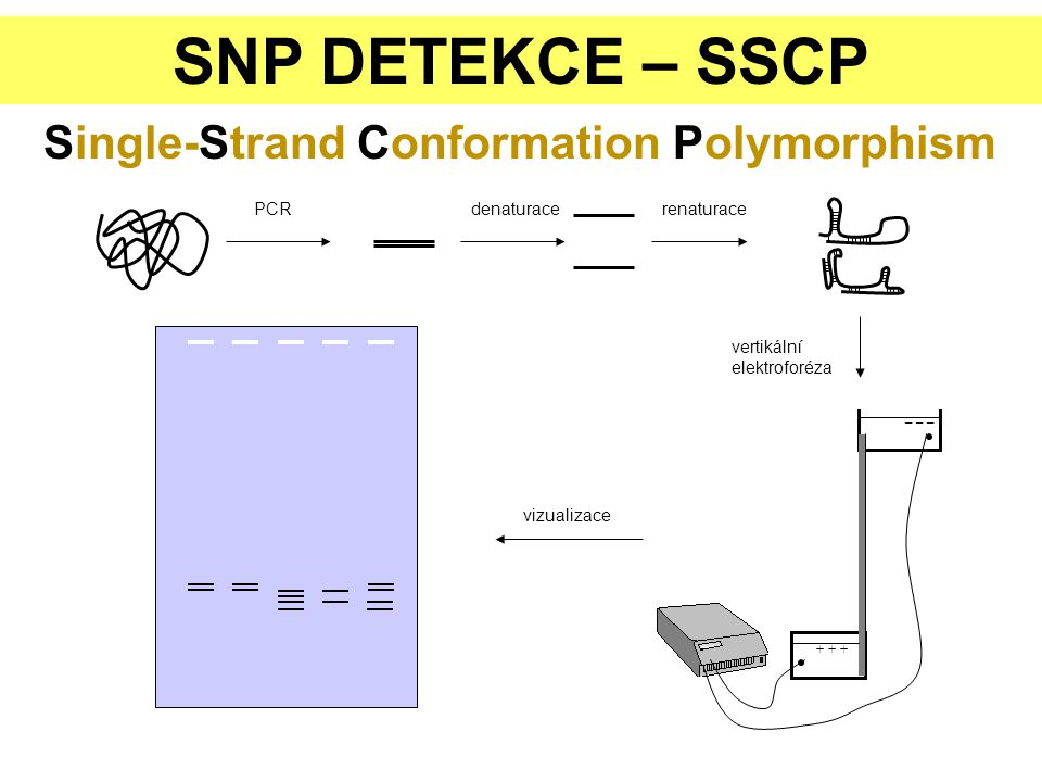 SNP DETEKCE – SSCP Single-Strand Conformation Polymorphism PCR