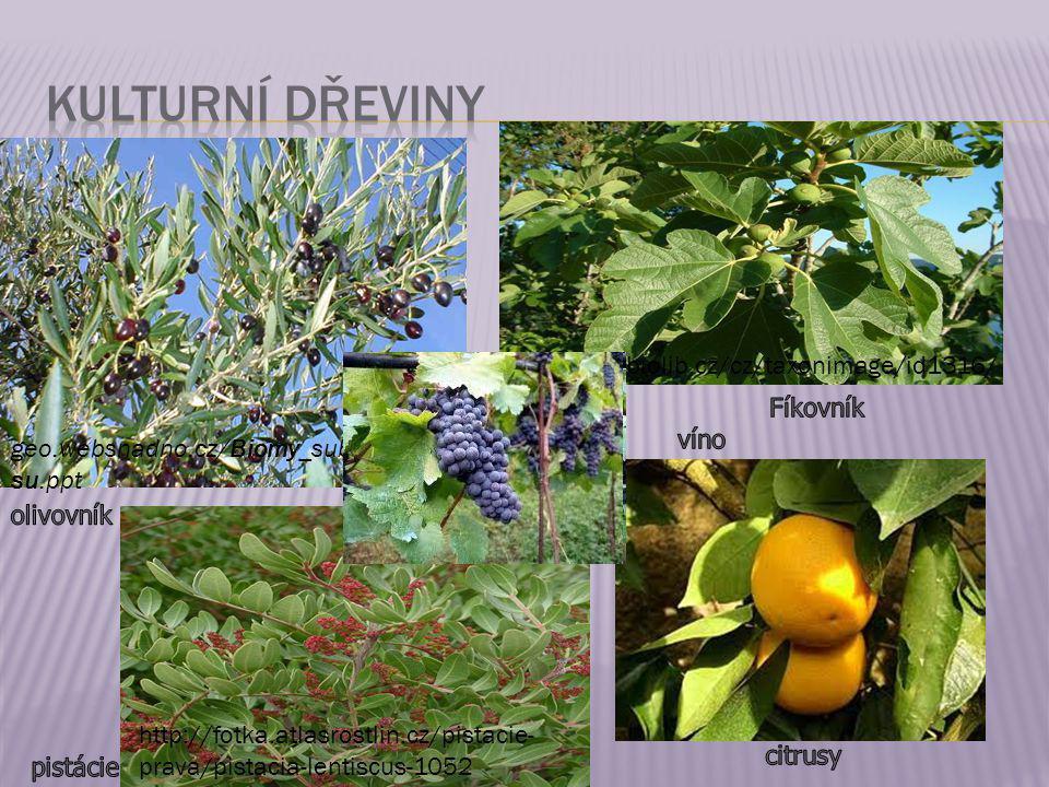 Kulturní dřeviny http://www.biolib.cz/cz/taxonimage/id1316/ Fíkovník