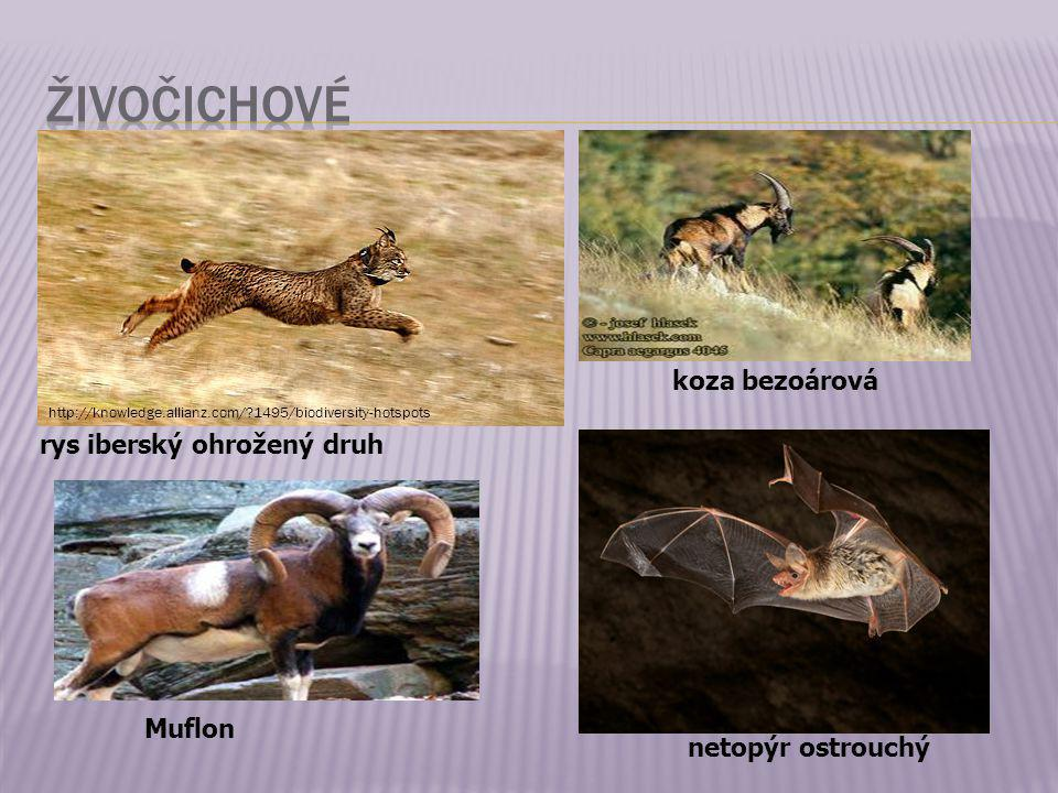 živočichové koza bezoárová rys iberský ohrožený druh Muflon