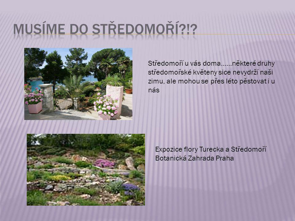 Musíme do Středomoří ! Středomoří u vás doma……některé druhy středomořské květeny sice nevydrží naši zimu, ale mohou se přes léto pěstovat i u nás.