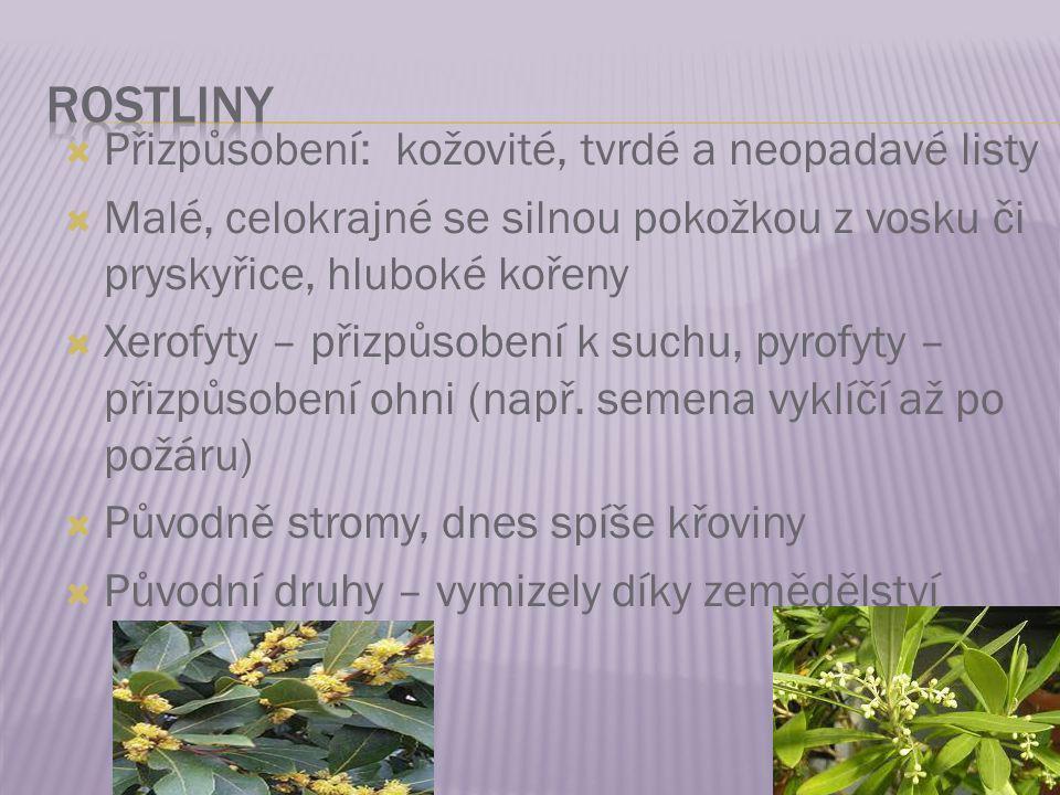 rostliny Přizpůsobení: kožovité, tvrdé a neopadavé listy