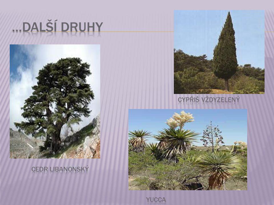 …další druhy cypřiš vždyzelený Cedr libanonský yucca