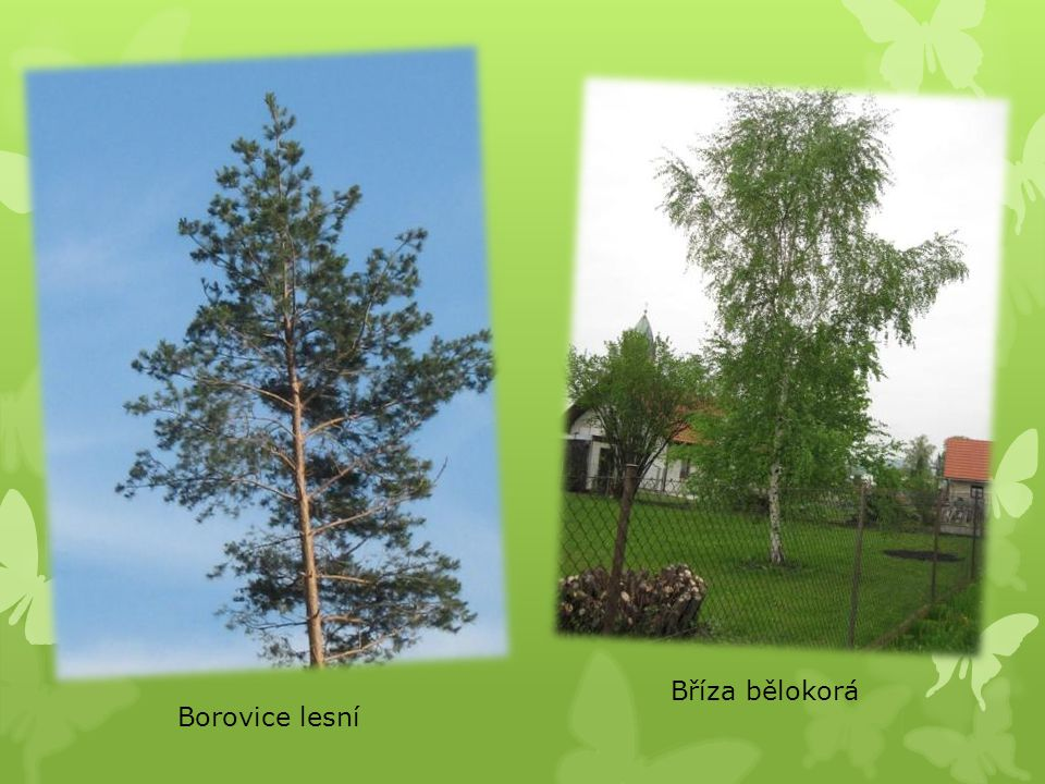 Bříza bělokorá Borovice lesní