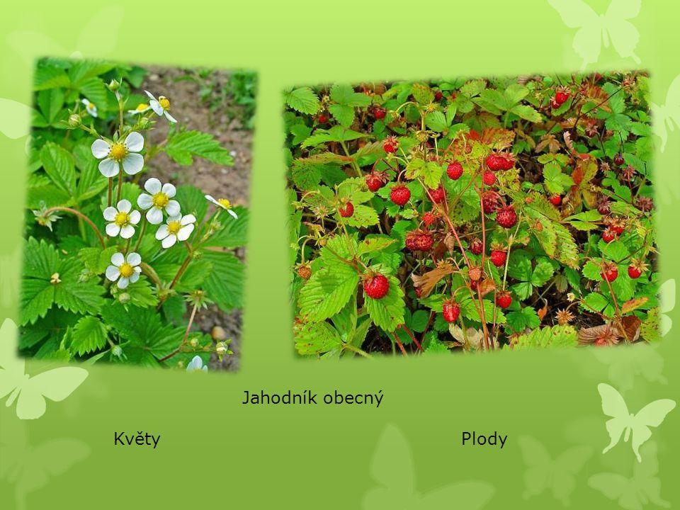 Jahodník obecný Květy Plody