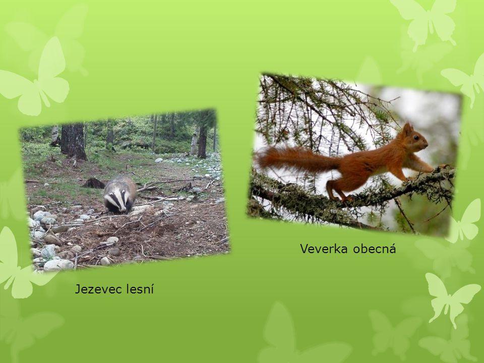 Veverka obecná Jezevec lesní