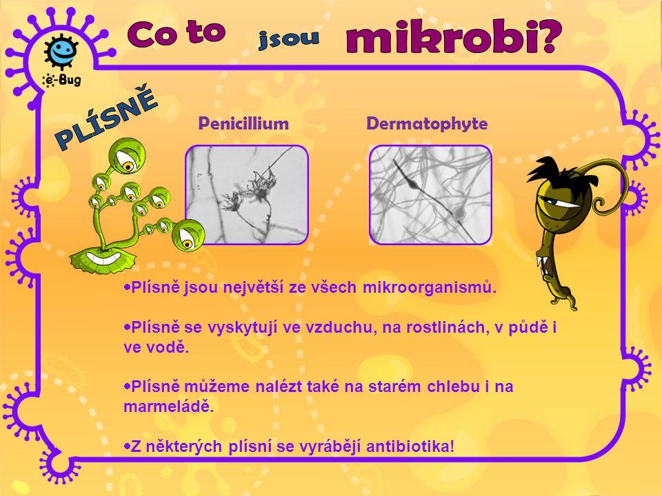 Penicillium Dermatophyte